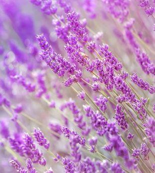 lavender-3234426__480